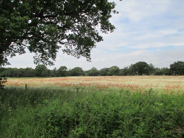 Poppies in corn field